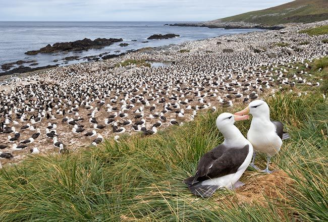 Black-browed-Albatrosses-on-th-edge-of-the-colony_E7T4768-Steeple-Jason-Falkland-Islands.jpg