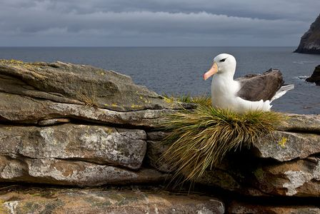 Black-browed-Albatross-on-rocks-with-dark-blue-sky-bkgd_B8R6064-New-Island-Falkland-Islands.jpg