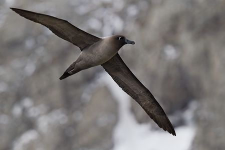 Light-Mantled-Sooty-Albatross-flying-against-mountain-backdrop-BM7E1150-Elsehul-South-Georgia-Islands.jpg