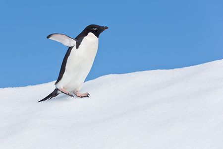 Adelie-Penguin-walking-on-snow-with-blue-sky_E7T1670-Detaille-lsland-Antarctica.jpg