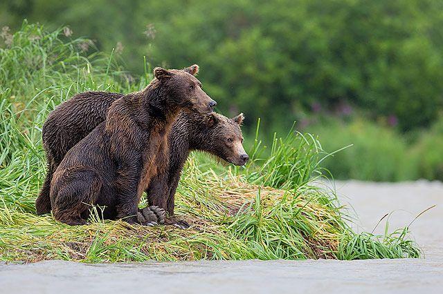 Coastal-brown-bears-overlooking-the-river_B8R2306-Geographic-Harbour-Katmai-NP-Alaska.jpg