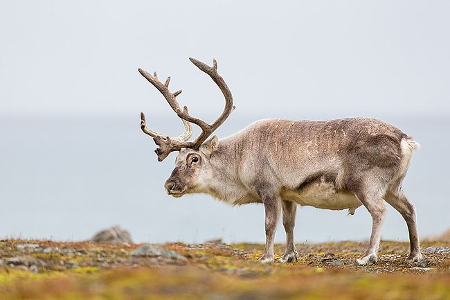 Raindeer-standing-in-the-meadow-between-mosses_B8R5924-Alkhornet-Svalbard-Arctic.jpg