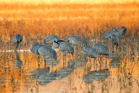 Sandhill-cranes-roosting-in-orange-reflection-23100474-Bosque-del-Apache-NWR,-San-Antonio,-NM.JPG
