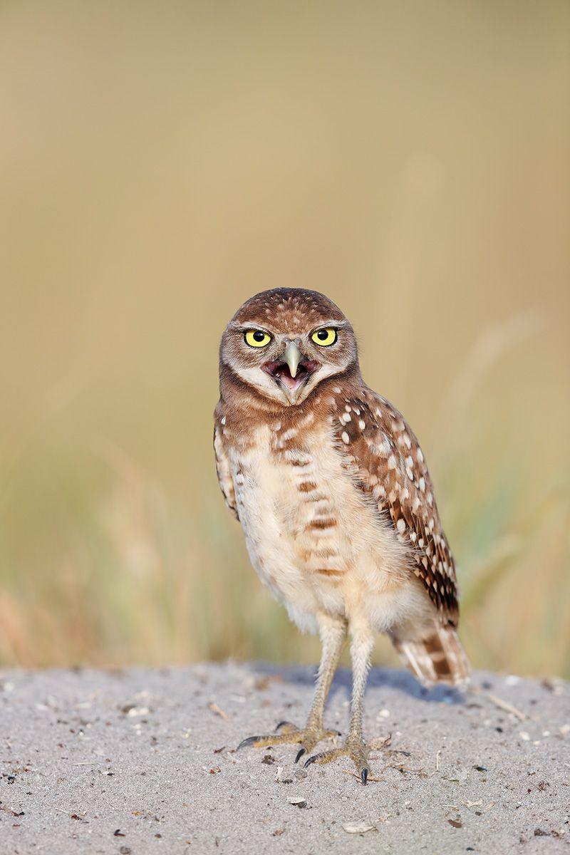 Burrowing owl chick vertical_A3I0910-Boca Raton Airport, FL, USA.jpg