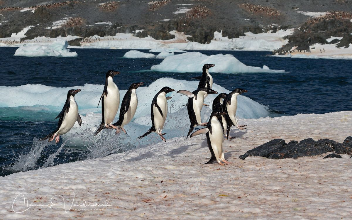 Adelie-Penguins-jumping-out-of-the-water_E7T5491-Hope-Bay-Antarctica.jpg
