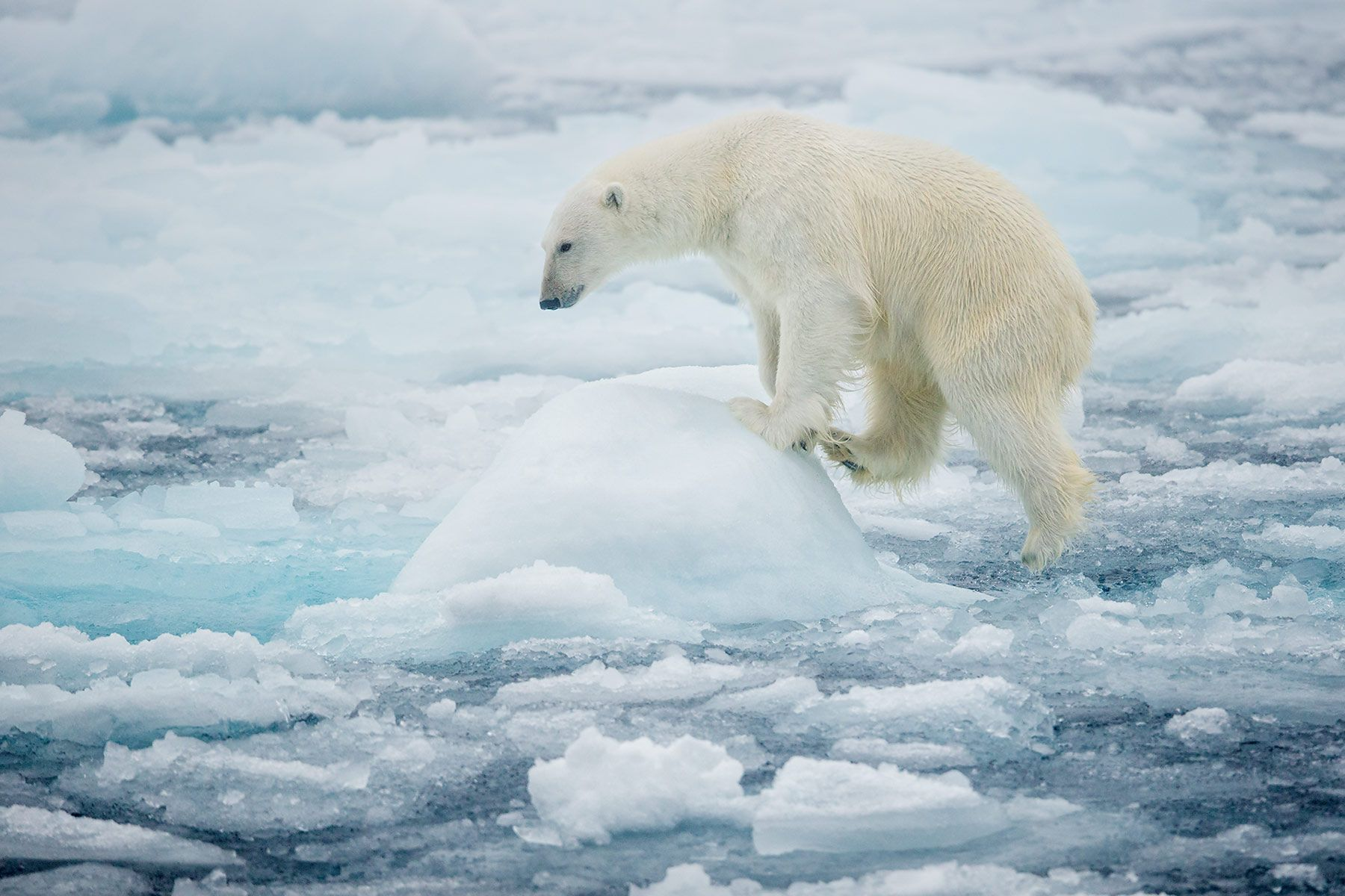 Polar-bear-climbing-on-piece-of-sea-ice_B8R4792-Sea-ice-at-81-degree-North,-Svalbard,-Arctic.jpg