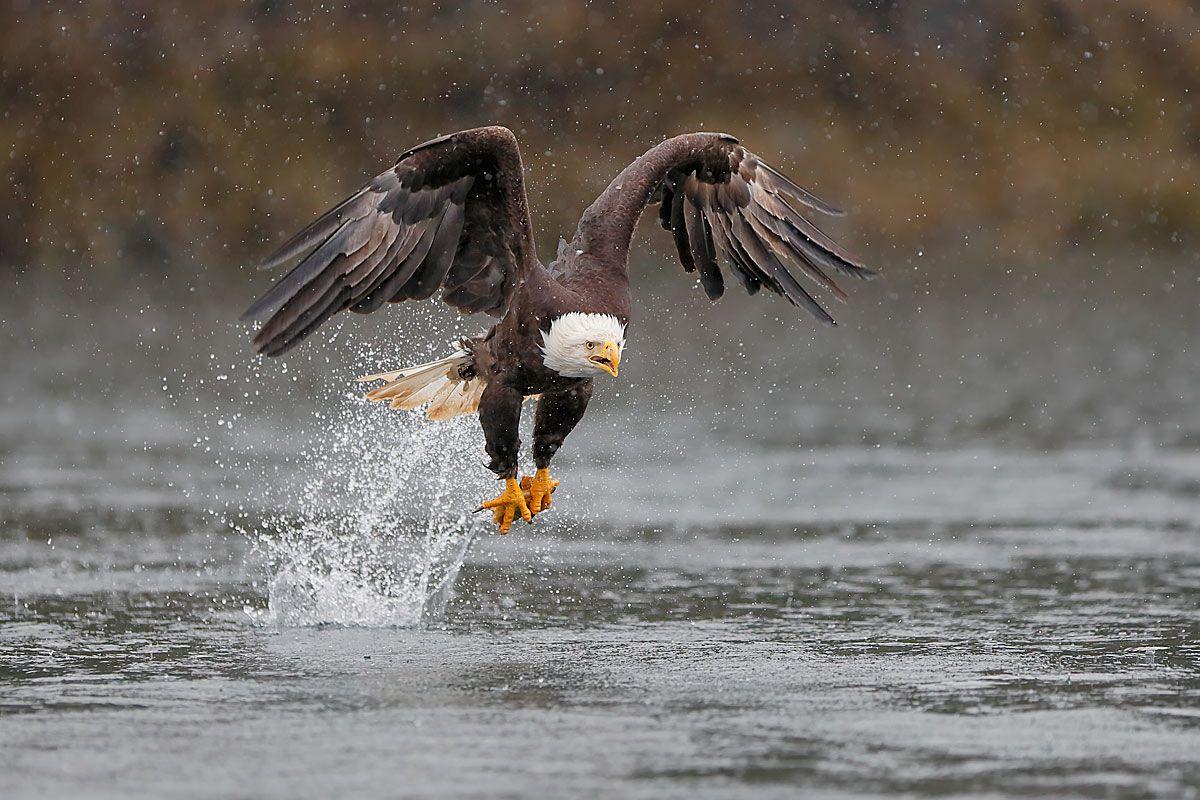 bald-eagle-catch-with-curved-wings_b8r9300-kachemak-bay-homer-alaska-usa.jpg