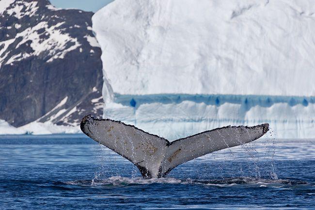 Humpback-Whale-Fluke-with-iceberg-in-bkgd_E7T1910-Petermann-Island-Antarctica.jpg