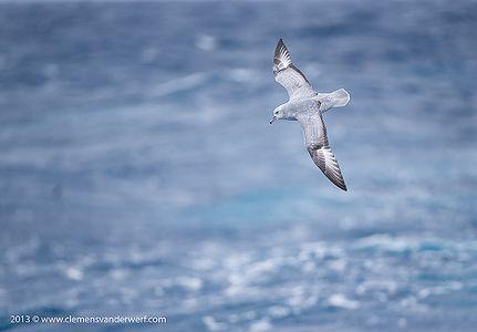 Southern-fulmar-riding-waves_E7T5314-Drake-Passage-Southern-Ocean-Antarctica.jpg