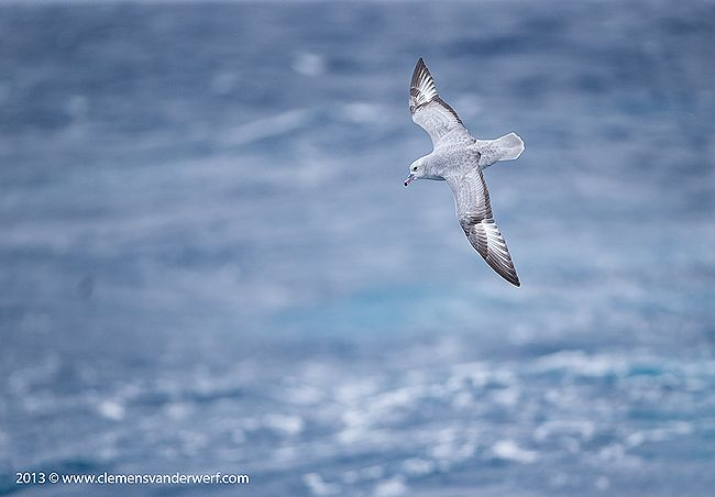 Southern-fulmar-riding-waves_E7T5314-Drake-Passage-Southern-Ocean-Antarctica.jpg