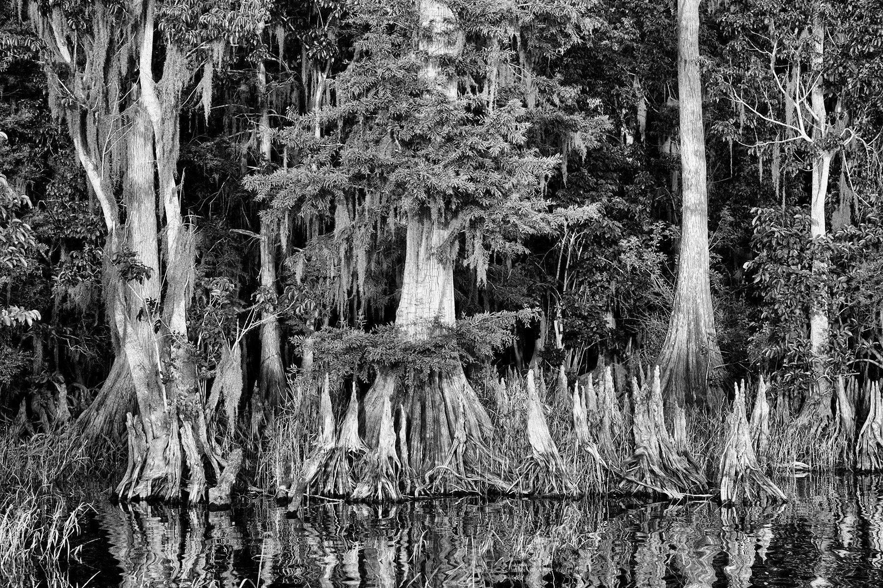 Cypress tree roots in B&W II_A9C1463-Lake Blue Cypress, FL.jpg