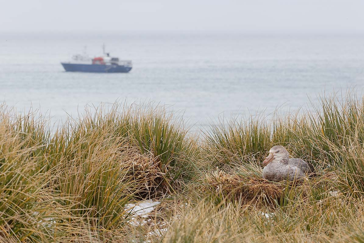 northern-giant-petrel-on-nest-with-ship_b8r3190-elsehul-south-georgia-islands-southern-ocean.jpg