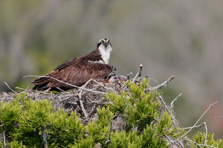 Osprey and young chick on nest_A3I0961-Lake Blue Cypress, FL, USA.jpg