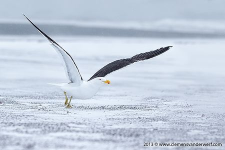 Kelp-Gull-taking-off-on-beach-with-white-snow_E7T6160-Whalers-Bay-Deception-Island-South-Shetland-Islands-Antarctica1.jpg