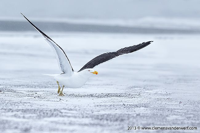 Kelp-Gull-taking-off-on-beach-with-white-snow_E7T6160-Whalers-Bay-Deception-Island-South-Shetland-Islands-Antarctica1.jpg