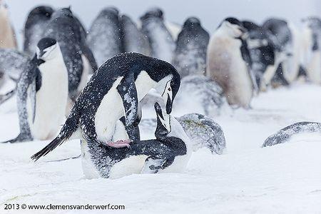 Chinstrap-penguins-mating-behavior_E7T5889-Half-Moon-Island-South-Shetland-Islands-Antarctica.jpg