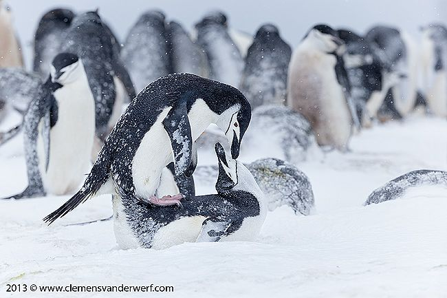 Chinstrap-penguins-mating-behavior_E7T5889-Half-Moon-Island-South-Shetland-Islands-Antarctica.jpg