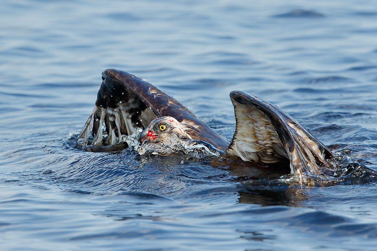 osprey-with-blood-swimming-ii_44a1299-lake-blue-cypress-fl-usa.jpg