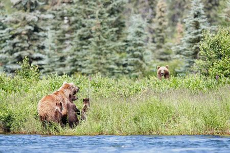 Coastal-brown-bears-and-cubs-looking-up-at-other-bear-II_A3I7276-Alagnak-River,-Katmai-National-Park-&-Preserve,-AK,-USA.JPG