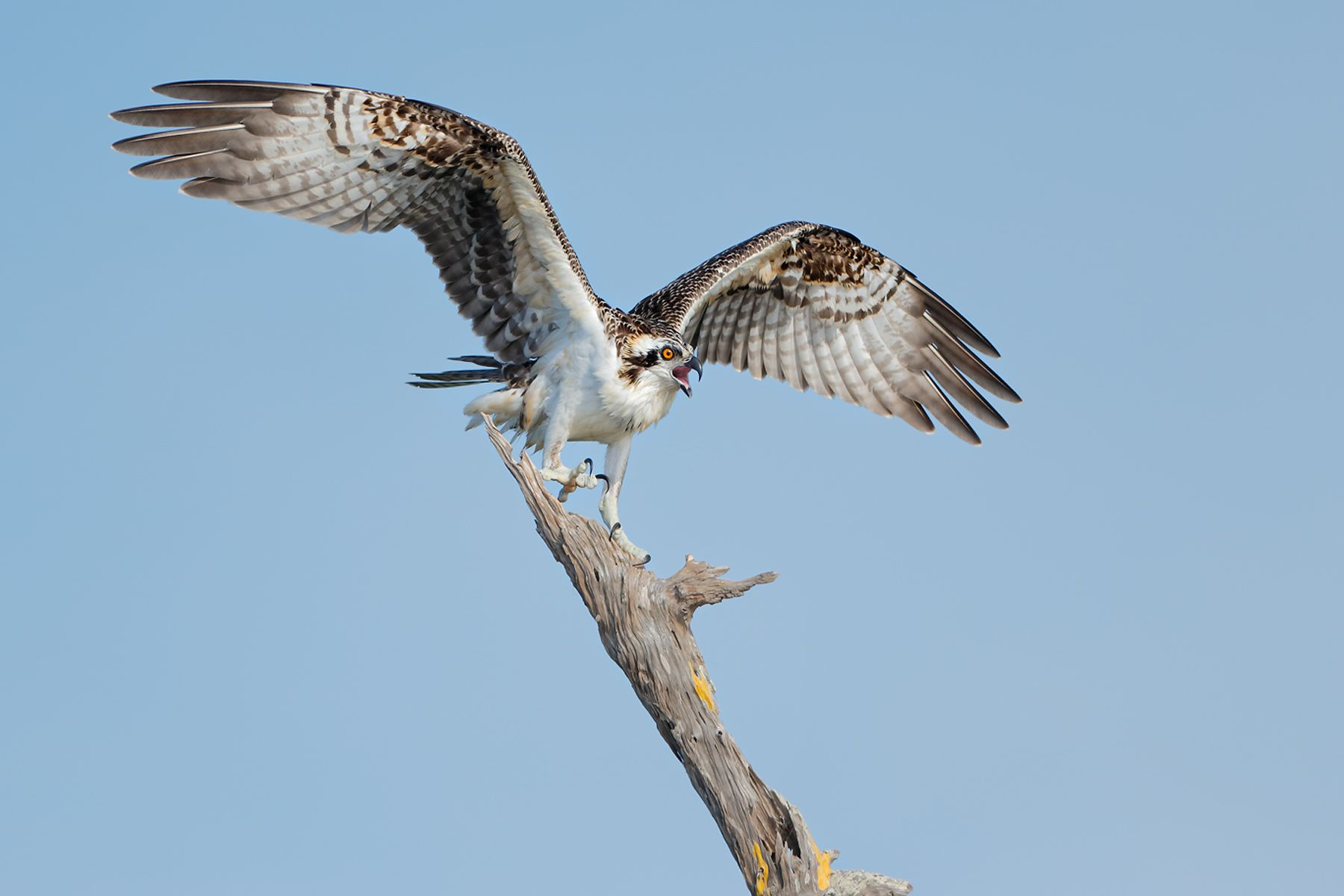 Osprey-chick-landing-on-perch_E7T1184-Lake-Blue-Cypress,-Indian-River-County,-FL,-USA.jpg