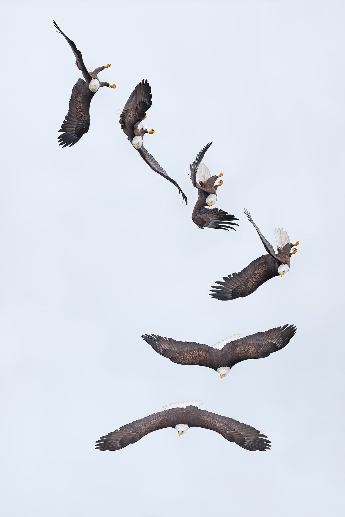 bald-eagle-air-turn-flight-sequence_b8r5726-kachemak-bay-homer-alaska-usa.jpg