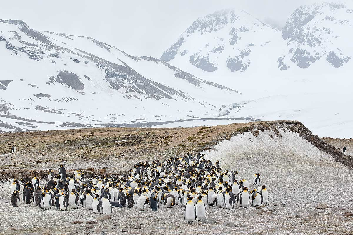 king-penguin-group-molting_e7t2604-st-andrews-bay-entrance-south-georgia-islands-southern-ocean.jpg
