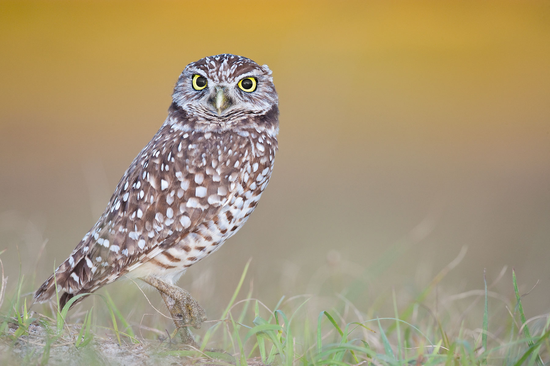 Burrowing-Owl-against-yellow-bkgd-02100405-Cape-Coral,-FL.jpg