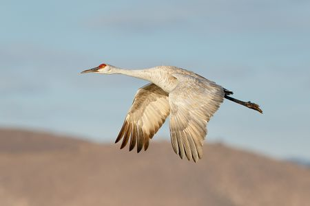 sandhill-crane-wings-down-1_44a0487-bosque-del-apache-nwr-san-antonio-nm-usa.jpg