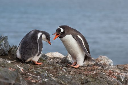Gentoo-Penguin-and-chick-arguing_E7T6539-Hannah-Point-South-Shetland-Islands-Antarctica.jpg