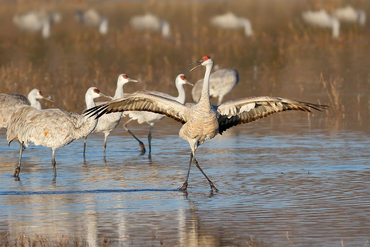 sandhill-crane-dancing-1_44a0053-bosque-del-apache-nwr-san-antonio-nm-usa.jpg