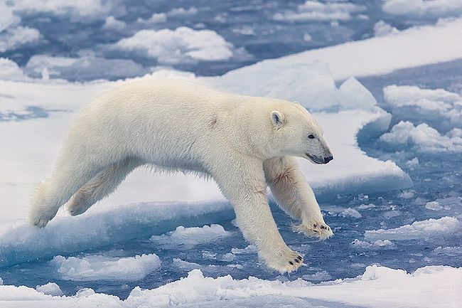 Polar-bear-jumping-over-sea-ice-II_E7T4776-Sea-ice-at-82-degree-North-Svalbard-Arctic.jpg