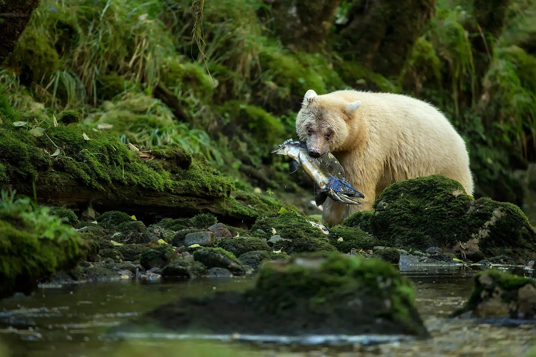 Spirit-bear-with-salmon-looking-at-the-river-II_E7T5629-Gribbell-Island,-British-Columbia,-Canada.jpg