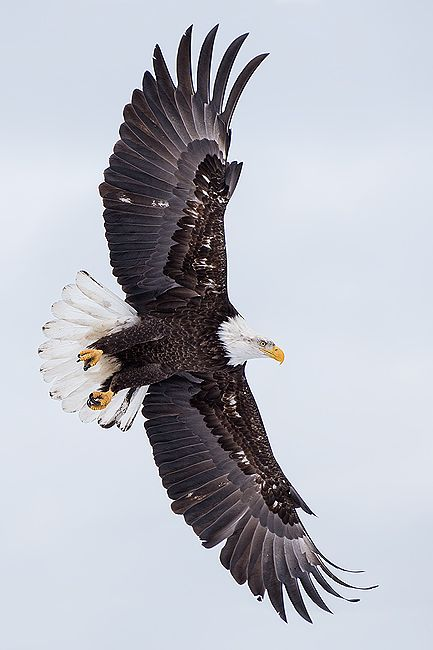 Bald-eagle-banking-in-white-sky_vertical_B8R9640-Kachemak-Bay-Homer-AK.jpg