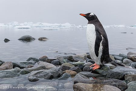 Gentoo-penguin-looking-out-over-Cuverville-Bay_B8R7238-Cuverville-Island-Antarctica.jpg