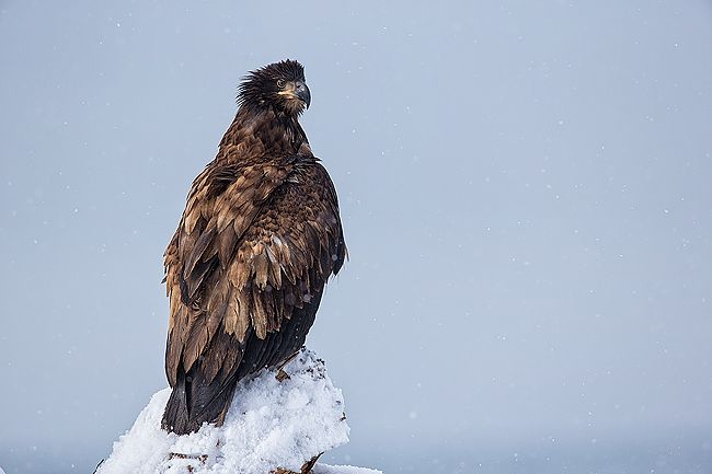 Juvenile-Bald-eagle-on-perch-with-snow_E7T0832-Kachemak-Bay-Homer-AK.jpg