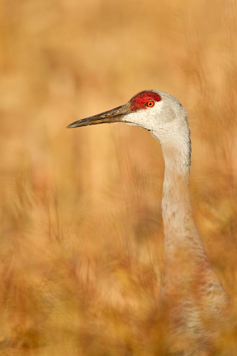 Sandhill-crane-portrait-in-cornfield-23101260-Bosque-del-Apache-NWR,-San-Antonio,-NM.jpg