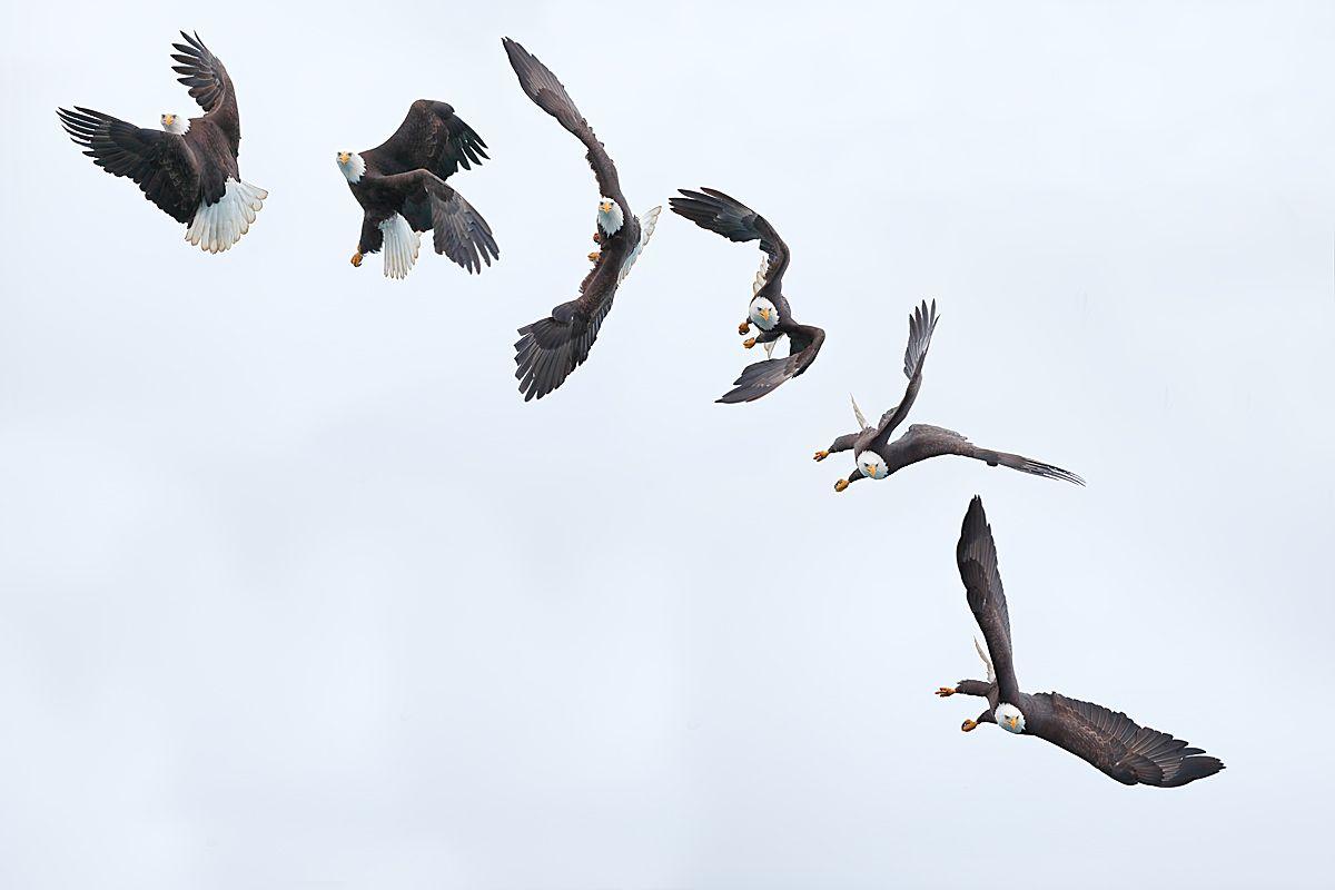 bald-eagle-the-turn_b8r7240-kachemak-bay-homer-alaska-usa.jpg
