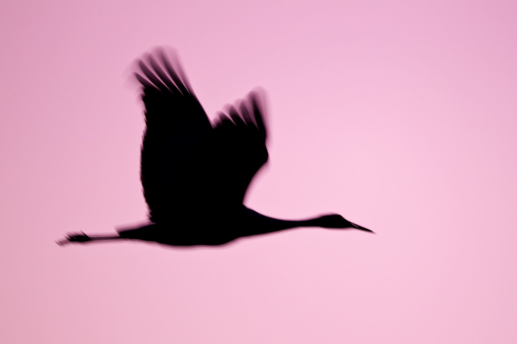 Sand-hill-crane-silhouette-against-purple-sky-23100635-Bosque-del-Apache-NWR,-San-Antonio,-NM.jpg