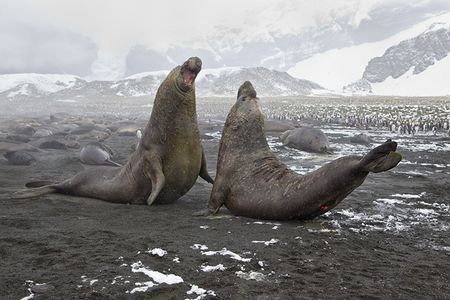 Elephant-Seal-Bulls-fighting-for-mate-BM7E3286-Gold-Harbour-South-Georgia-Islands.jpg