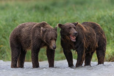 Coastal-brown-bears-together-in-the-river_B8R2566-Geographic-Harbour-Katmai-NP-Alaska.jpg