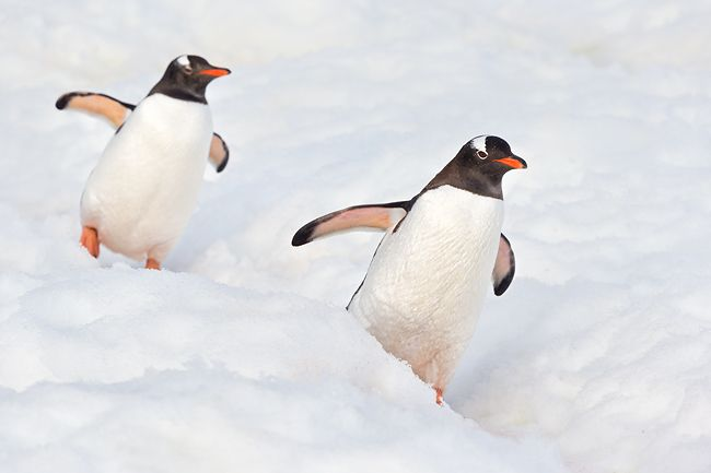 Gentoo-Penguins-walking-down-the-highway_E7T1047-Danco-Island-Antarctica.jpg