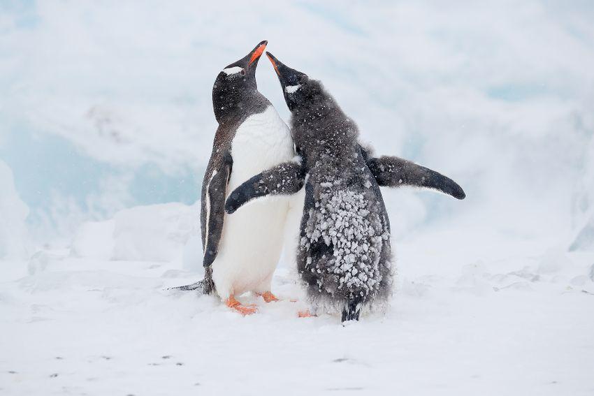 Gentoo-penguin-chick-begging_A3I7295-Brown-Bluff,-Antarctica.jpg