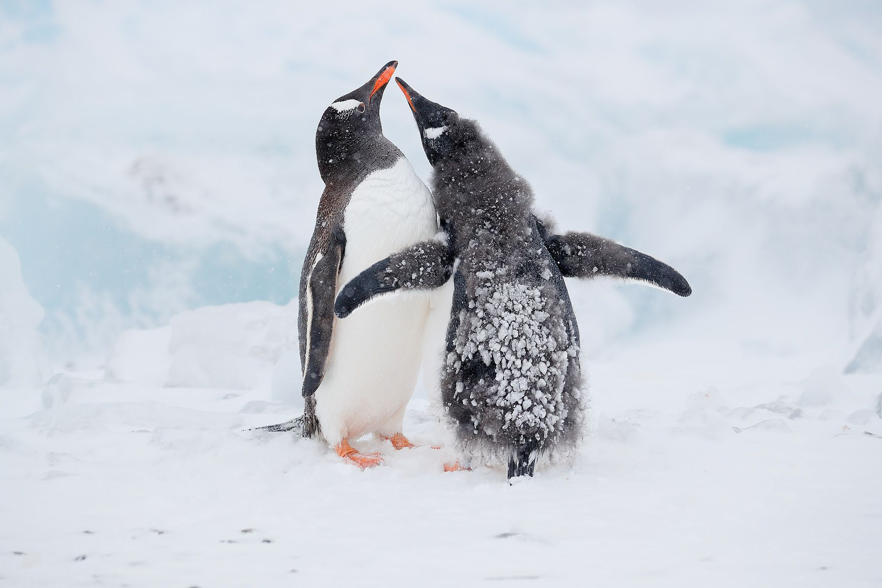 Gentoo-penguin-chick-begging_A3I7295-Brown-Bluff,-Antarctica.jpg
