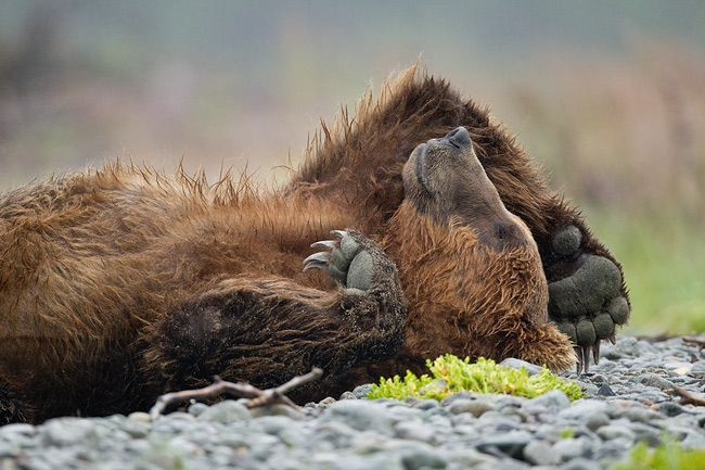 Clemens-Vanderwerf_Brown-bear-sleeping_Animal-Antics.jpg