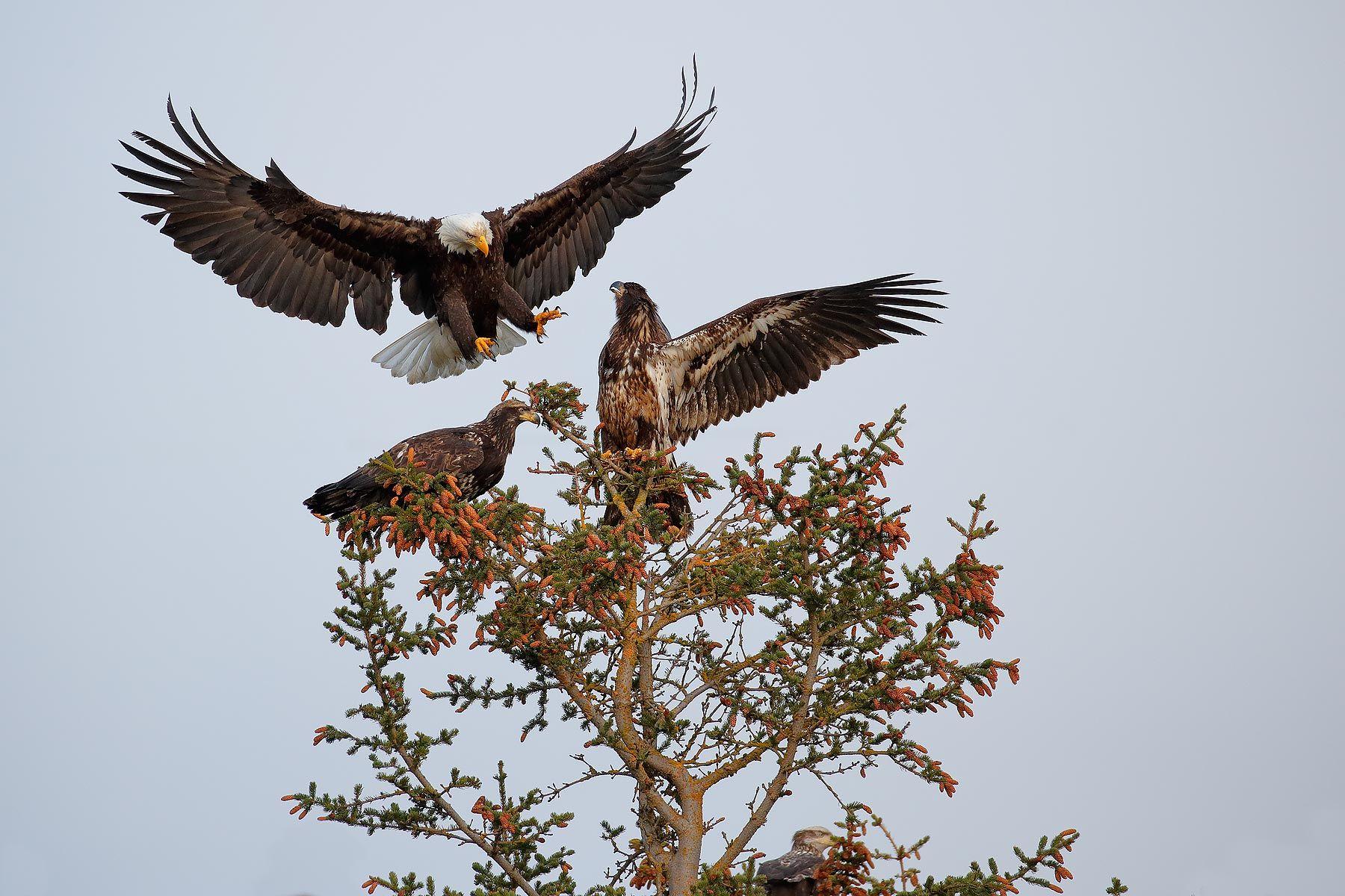 Bald-eagle-landing-on-top-of-tree_B8R0632-Kachemak-Bay,-Homer,-Alaska,-USA.jpg