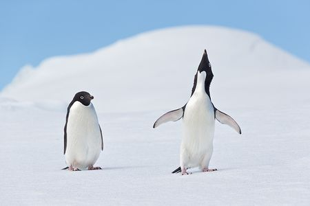 Adelie-Penguins-showing-courtship-behavior-on-ice_E7T1653-Detaille-lsland-Antarctica.jpg