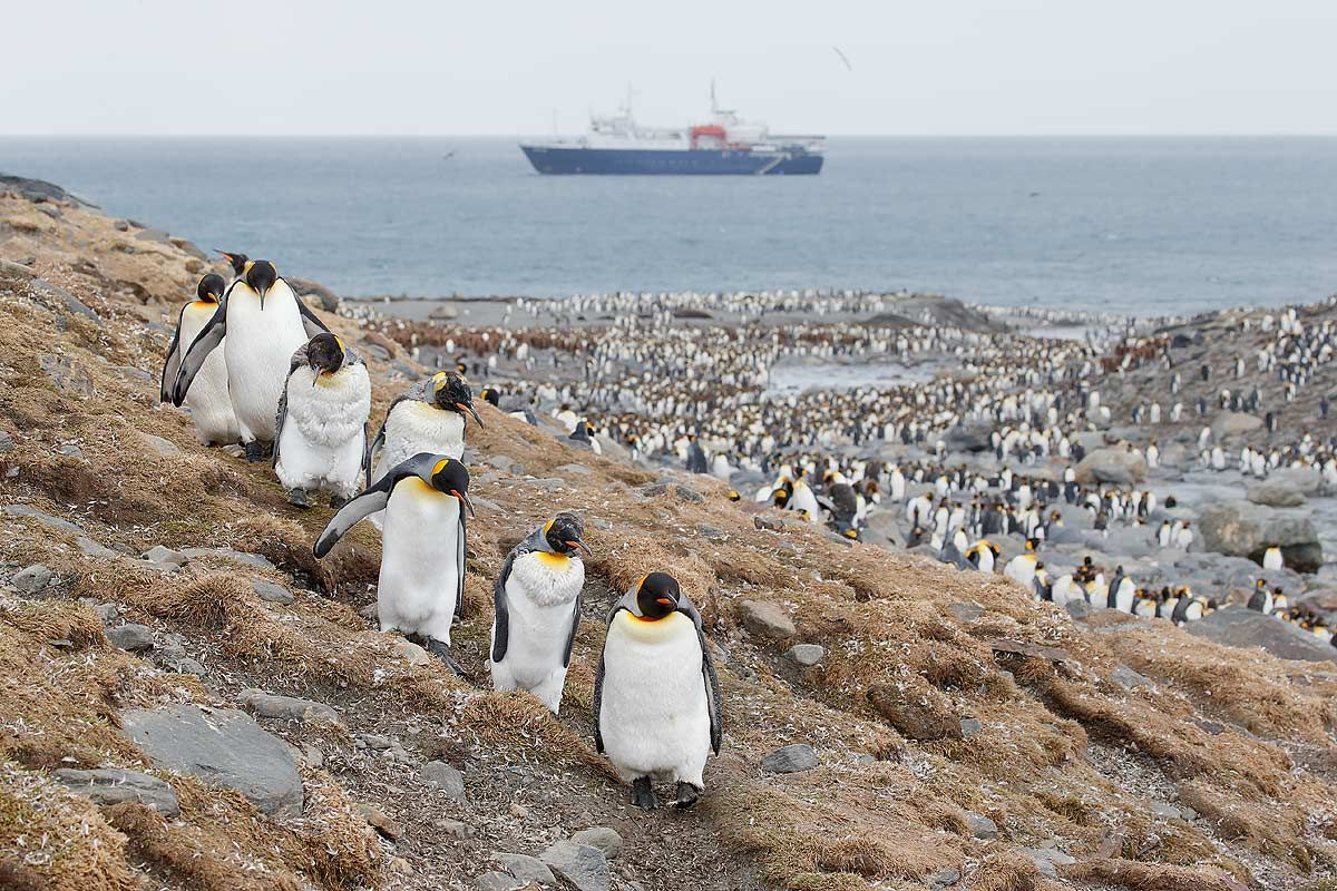 king-penguins-coming-down-the-hill_e7t2800-st-andrews-bay-entrance-south-georgia-islands-southern-ocean.jpg
