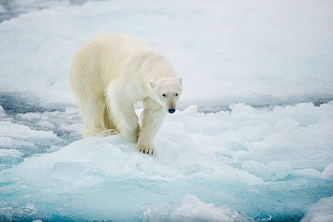 Polar-bear-on-sea-ice-walking_B8R4845-Sea-ice-at-81-degree-North-Svalbard-Arctic.jpg