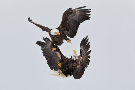 Bald-eagles-fighting-kun-fu-style-crop-E07G9186-Kachemak-Bay,-Homer,-AK.JPG