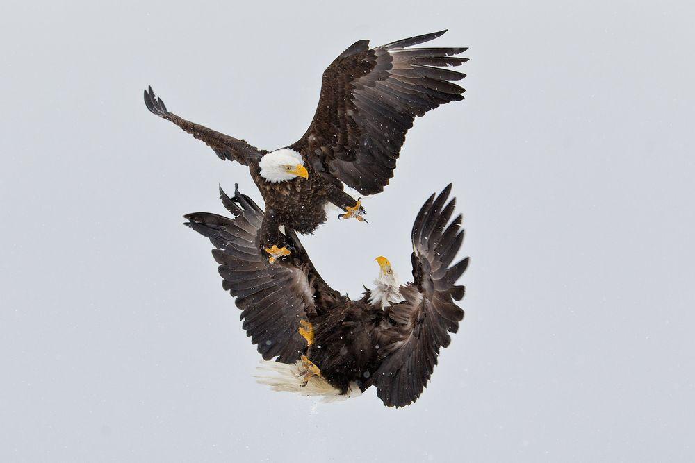 Bald-eagles-fighting-kun-fu-style-crop-E07G9186-Kachemak-Bay,-Homer,-AK.JPG